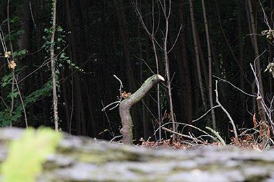branche redressée